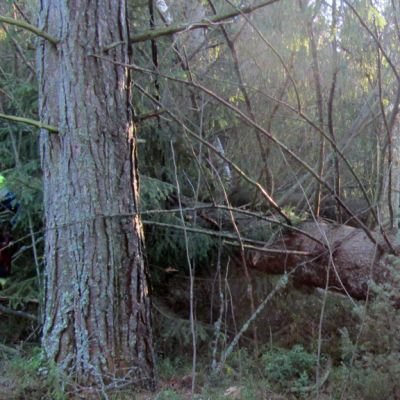 Eino-myrskyn tuhoja korjataan Ullavan Läntässä metsässä.