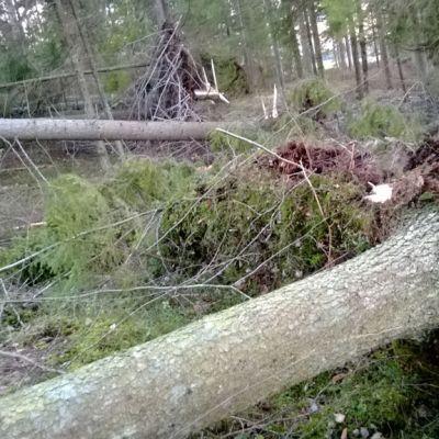 Puita kaatuneena metsässä.