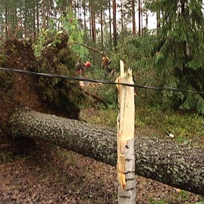 Myrskssä kaatunut puu.