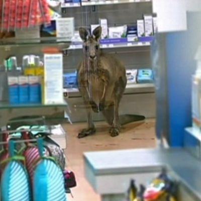 kenguru myymälässä