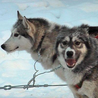 Koiravaljakon kaksi koiraa lähikuvassa.