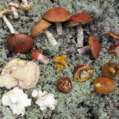 Sieniäjäkälän päällä