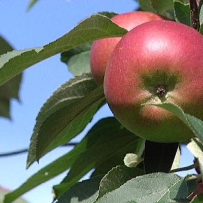 Omena puussa.