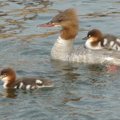 Kuvassa isokoskelo poikasineen uimassa Kalajoella. Yksi poikanen on emon selässä, toinen ui vierellä.