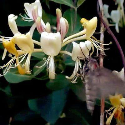 Mäntykiitäjä kuusaman kukissa.