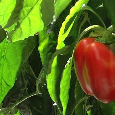 Paprika kasvaa kasvihuoneessa.