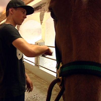 Hevostalouden opiskelija Tino Paldan harjaa hevosta.