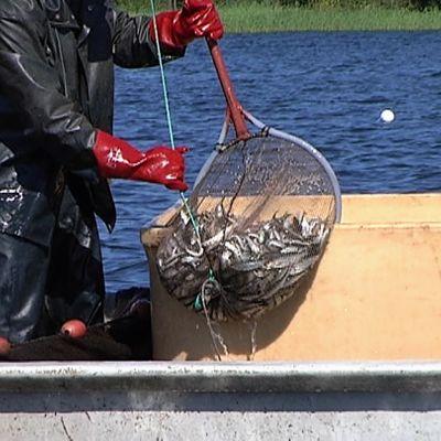 Hoitokalastusta
