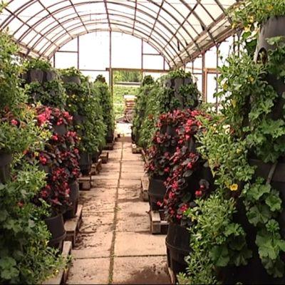 Vaasan kaupunginpuutarhan kesäkukat kasvatetaan omissa kasvihuoneissa