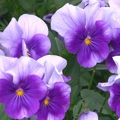 violetti orvokki