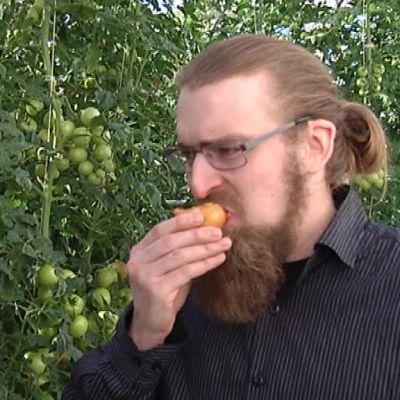 Tommi Perälä maistelee tomaatteja kasvihuoneessa