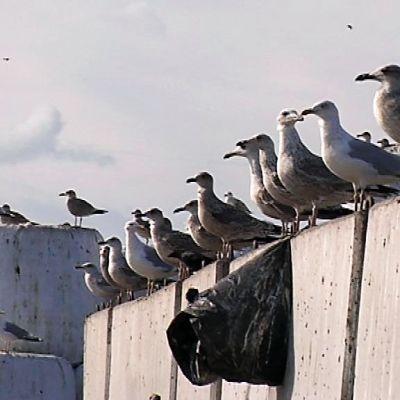 Linnut rivissä jätepaaleilla.
