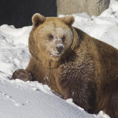 Korkeasaaren karhu