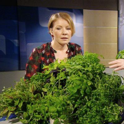 Yrttineuvoja Mervi Kannisto-Kallela Aamu-tv:n vieraana 11. maaliskuuta 2013.
