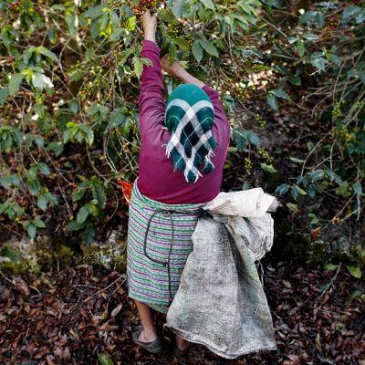 Guatemalalainen nainen keräää papuja kahvipensaasta Alotenangossa.