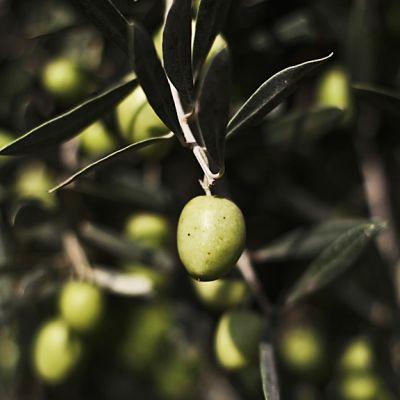 Oliivi oliivipuussa.