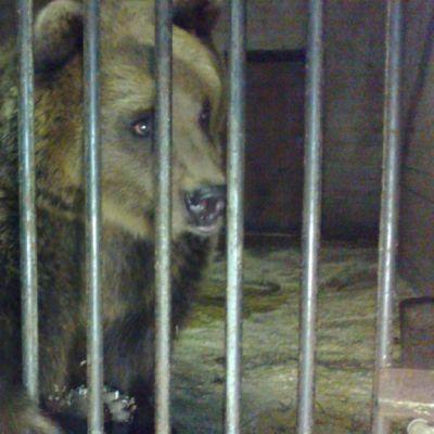 Karhu häkissä.