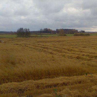 Kuvassa punainen puimuri seisoo viljapellolla. Puinti on jäänyt kesken.