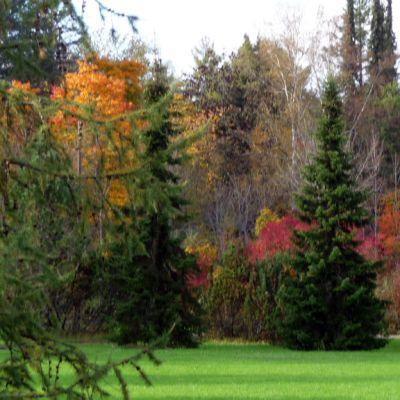 mustilan arboretumin  väriloistoa puissa syksyllä