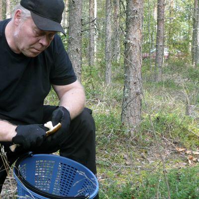Pentti Hongisto puhdistaa metsässä sientä.