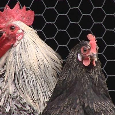 Kukko ja kana