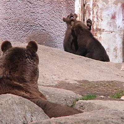 Kivien seassa makaava isompi karhu katsoo lähellä leikkiviä kahta pentua.