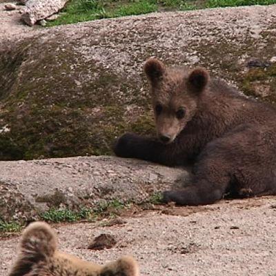 Puolivuotias pikkukarhu makaa kalliolla Ähtärin eläinpuistossa.