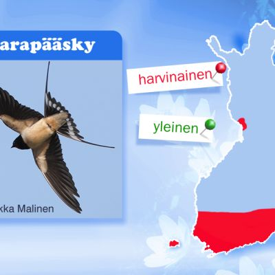 Kuva haarapääskystä ja Suomen kartta.