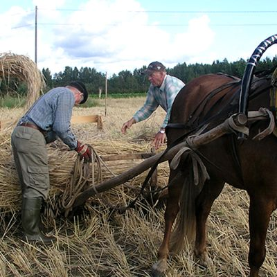 Pihtiputaan rotarit korjaamassa ruiskuhilaita perinteisellä hevospelillä.