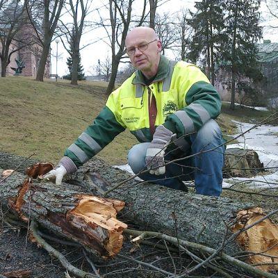 Työnjohtaja Timo Kajava tutkii kaadetun jalavan kuntoa Turun Puolalanpuistossa.