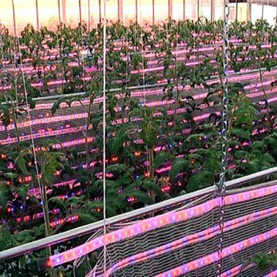 Led-valot sijoitetaan lähelle kasveja.