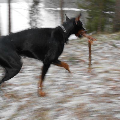 Dobermanni juoksee.