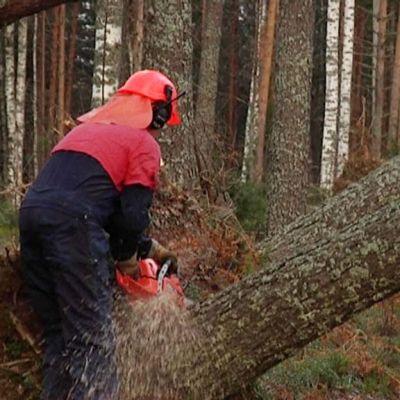 Metsuri pilkkoo myrskyn kaatamia puita.