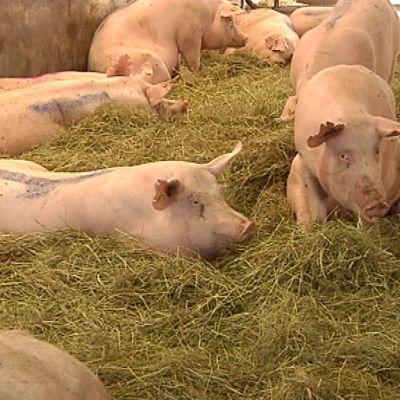 Sikalan lattialla oljilla makoilee kymmenkunta puhdasta sikaa.