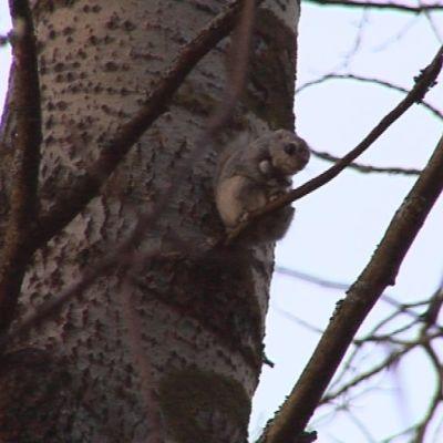 Liito-orava saa kulkua helpottavia puita nelostien varteen ensi viikolla.