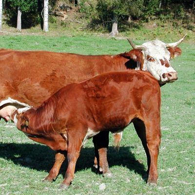Lehmä ja vasikka laitumella.