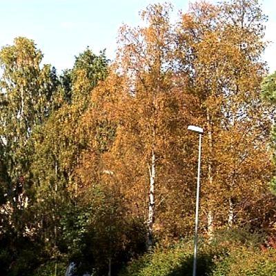 Sienitautien vuoksi kellastuneita koivuja Rovaniemellä.