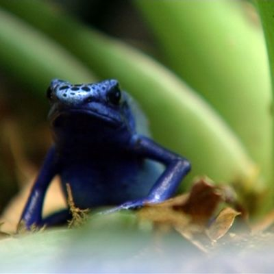 Sininen sammakko terraariossa.