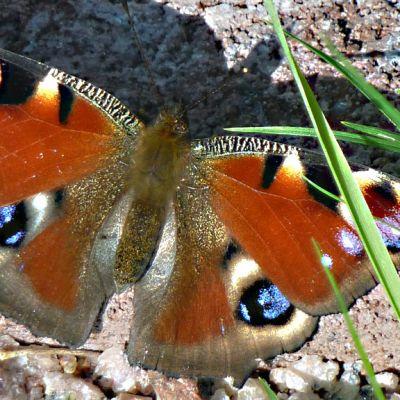 Kuvassa on neitoperhonen, jonka siipiparin suuret silmätäplät ovat huomiota herättävät.