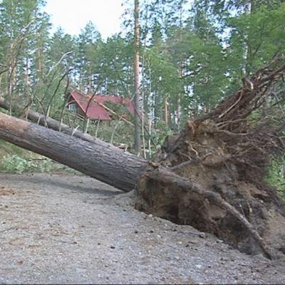 kaatunut puu tiellä