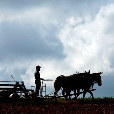 Amissimies peltotöissä hevosvetoisella työkoneella.