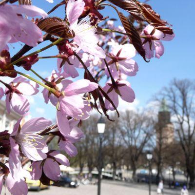 Kirsikkapuu kukassa Turun keskustassa.