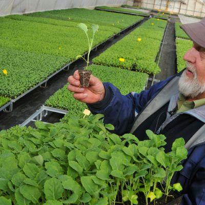 Leppävirtalainen Pekka Torvisen ihastelee hyvin kasvaneita taimia.