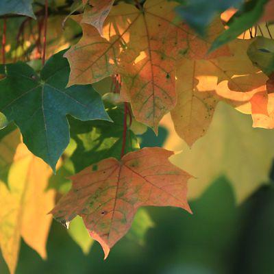 Vaahteran lehdet syksyn väreissä