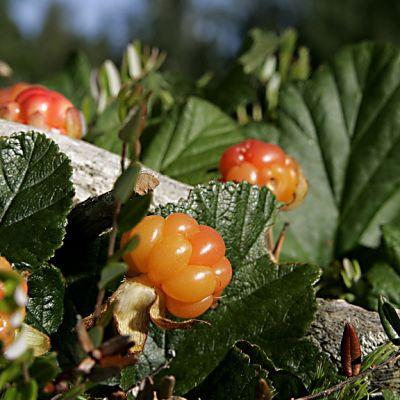 Puutarhalakka, Rubus Nyby.