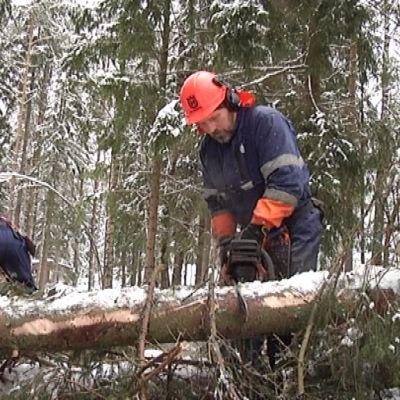 Metsuri sahaa puunrunkoa.