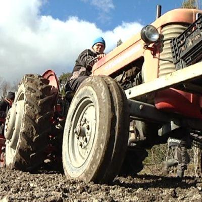 Mies ajaa traktoria perunapellolla.