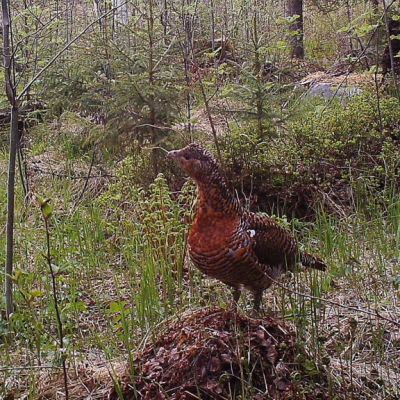 Koppelo eli naarasmetso metsässä.
