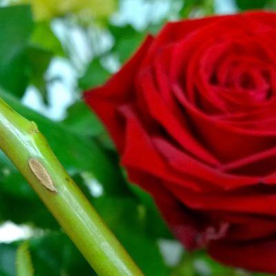 Tunnollinen kukkakauppias napsii ruusuista piikit huolellisesti pois.
