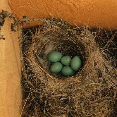 Linnunmunat pesäpöntössä
